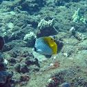 Threadfin Butterflyfish