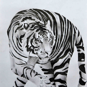 Tiger 5 by Paul Murray - Drawing All Drawing ( tiger pencil drawing )
