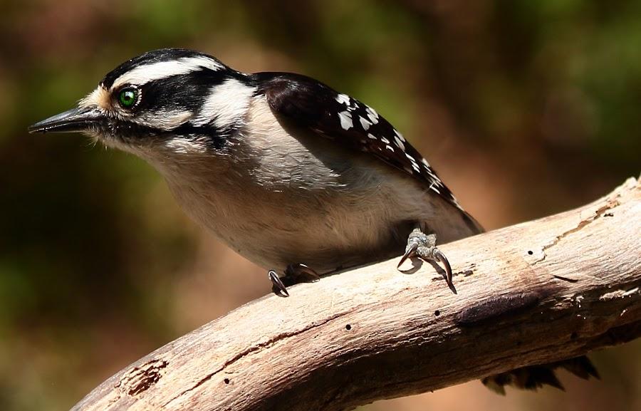 Female Downey Woodpecker  by Paul Mays - Animals Birds ( bird, nature, woodpecker, birds, kentucky,  )