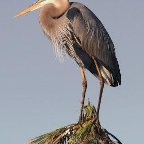 Great Blue Heron by Sandra Blair - Animals Birds ( bird, great blue heron, wading bird, wetlands, florida, wader, heron,  )