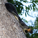 Pale Giant Squirrel
