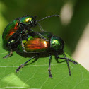 Dogbane beetles (mating pair)