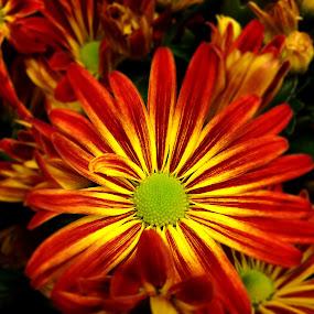 Fall flower by Mike Tapley - Flowers Single Flower ( autumn, colors, flowers, flower )