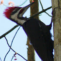 Pileated Woodpecter