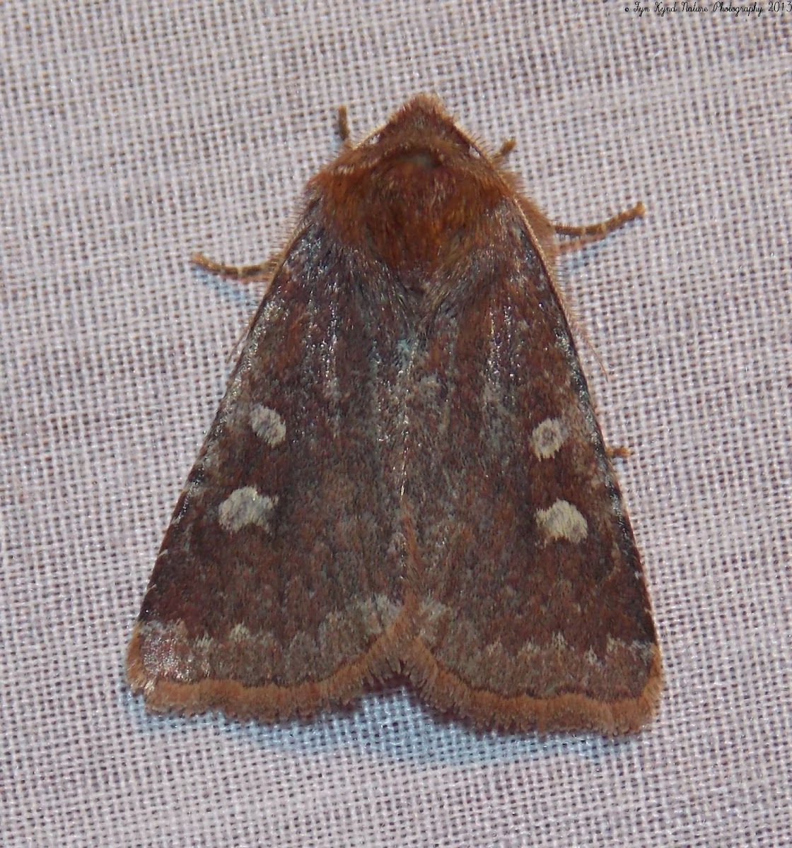 Reddish Speckled Dart