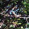 Female Anna's Hummingbird