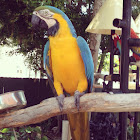 Blue-and-gold macaw