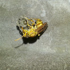 Yellow Paper Wasp (Bolta)