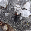Pilose Checkered Beetle