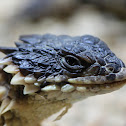 Sungazer, Giant Girdled Lizard, Giant Spiny-tailed Lizard or Giant Zonure