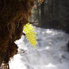 Licorice fern