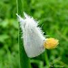 Yellow-tail Moth