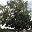 Horse Apple, Bois d'Arc tree (female)