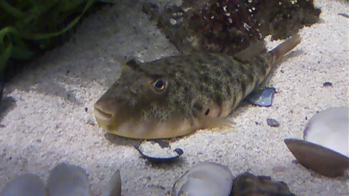 Northern puffer fish