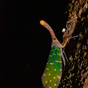 Lantern Bug - Fulgoridae