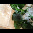 Edible Red Leaf