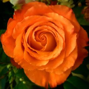 Orange. by Nena Guzmán - Flowers Single Flower ( orange, rosa, joy, colors, flowers )