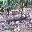 Monitor lizard/Bayawak
