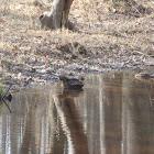 Mallard x Black Duck Hybrids