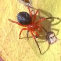 Red - Black spider
