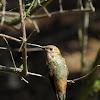 Selasphorus Hummingbird (female)