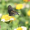 ♀ Black Swallowtail