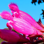 Rose leaf sage
