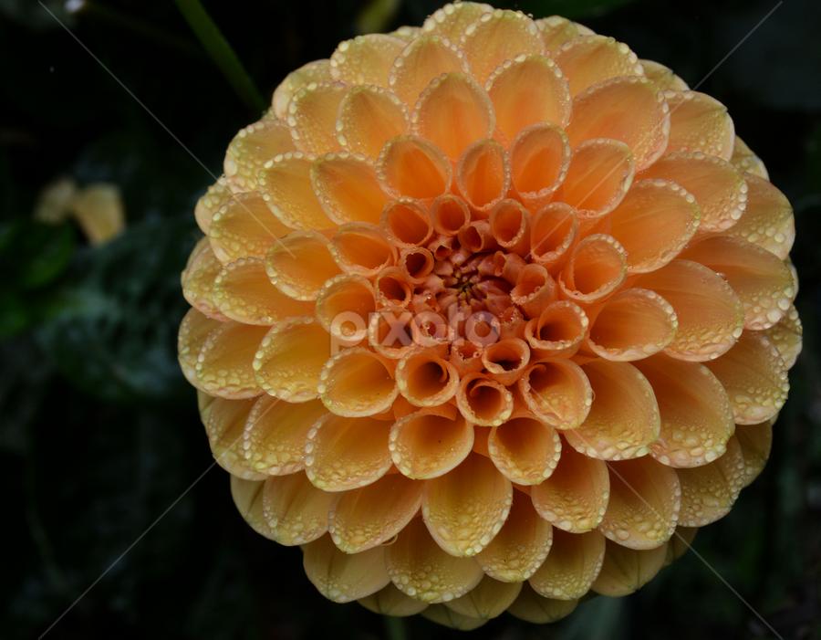 by Jeanne Knoch - Flowers Single Flower (  )