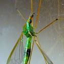 Green Crane Fly