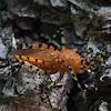 Sycamore Assassin Bug