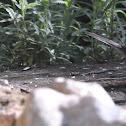 Tallarol de casquet (eurasian blackcap)