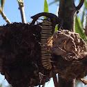 Wanderer, Monarch Butterfly