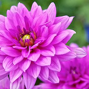 Pink Mum by Miren Etcheverry - Flowers Single Flower ( bouquet, arrangement, flora, chrysanthemum, bloom, pink, botanicals, mum, floral, blossom, flower, florist, the mood factory, mood, lighting, sassy, colored, colorful, scenic, artificial, lights, scents, senses, hot pink, confident, fun, mood factory ,  )