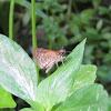 possibly Pygmy Scrub Hopper