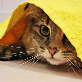 Peekaboo by Sheila Marques - Animals - Cats Portraits ( #cats, #norwegianforestcats, #kitties, #cat, #norwegianforestcat,  )