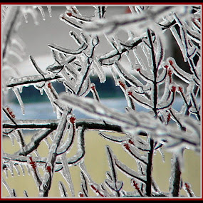 Frozen Buds by Yvonne Collins - Nature Up Close Trees & Bushes ( seethrough, ice, bush, frozen, buds,  )