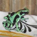 Black & Green Poison Dart Frog
