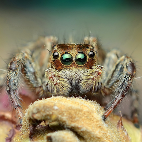 Look Into My Eyes by Niney Azman - Animals Insects & Spiders ( spider )