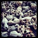 Various bat skulls