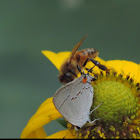 Honeybee and Gray Hairstreak