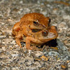 Spring peepers (in amplexus)