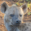 Spotted hyena/Laughing hyena