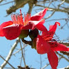 Bombax or Red Silk Cotton Tree
