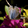 Pea Blue (female)