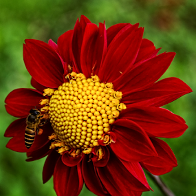 The Red & The Bee by Norbertus Andreanto Photos - Flowers Single Flower ( red, bunga, bee, indonesianflower, yellow, floral, flower )