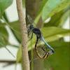 Blue Marsh Hawk (male)