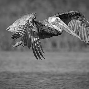 Flappy by Jared Lantzman - Black & White Animals ( bird, wings, nest, pelican, birds, , fly, flight )