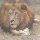 Lion (Male)