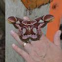 Rothschild's Silk Moth