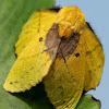 Lappet moth